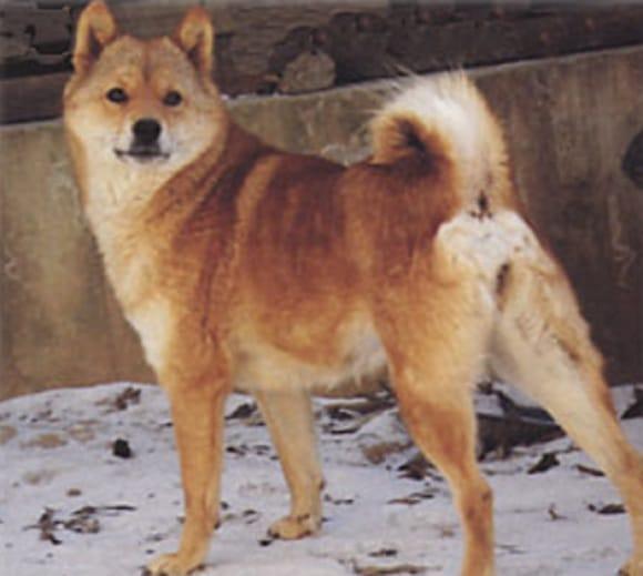 Chó Kawakami hiếm. Ảnh Internet