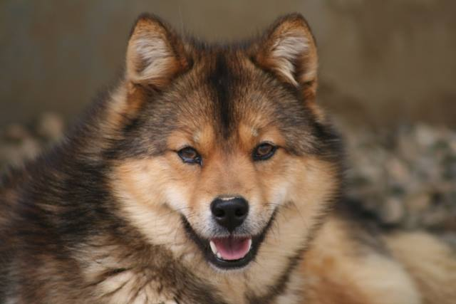 Chó Kawakami. Ảnh Internet