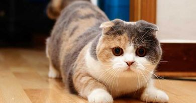 Mèo tam thể là mèo gì? Mèo tam thể đực tại sao lại hiếm?