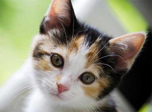 Mèo tam thể trong tâm linh