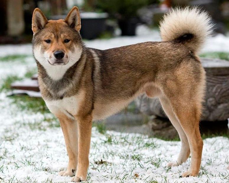 Chó Shikoku