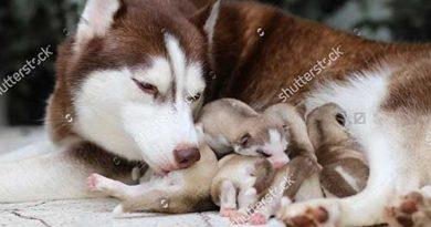 Cho chó mẹ ăn gì để có nhiều sữa sau sinh? Blog Yêu Chó Mèo